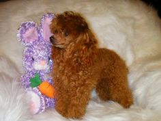 Red Poodles, French Poodles, Standard Poodles, Teacup Poodle Puppies, Tea Cup Poodle, Very Cute Puppies, Cute Dogs, Brown Toy Poodle, Pallet Dog Beds