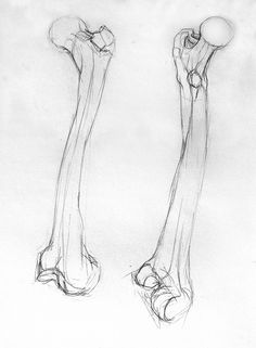 The long bone is one that is longer than it is wide. An example of a long bone would be the femur. The femur is attached to the quadricep and the hamstring.