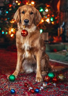 Classy Girls Wear Pearls: Red and Gold Decorations Dog Christmas Pictures, Christmas Puppy, Christmas Mood, Christmas Animals, Christmas Card Photo Ideas With Dog, Dog Photos, Dog Pictures, Cute Puppies, Cute Dogs