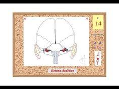 Neurología de la Música 3/10 - El Órgano de la Audición - Prof. Manuel L...