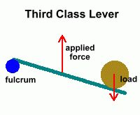 The most common lever found in the human body is a third class lever (force is applied between the fulcrum and the resistance).