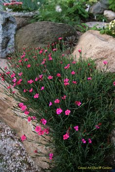 Dianthus in the rockery...need these in blue or purple