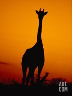 A Giraffe at Sunset in Chobe National Park Giraffe Silhouette, Silhouette Painting, Sunset Silhouette, Chobe National Park, National Parks, Pictures To Paint, Art Pictures, Giraffe Pictures, African Sunset