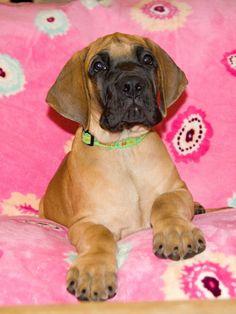 Boccaccio Happy Chilli Dogs (Lucas Big Lord x Abby Happy Chilli Dogs)