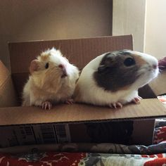 Guinea Pig sisters waiting for their pen to get cleaned!