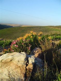 Cape fynbos and the vines of Raka Winery