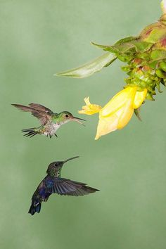 An angry female Blue-chested Hummingbird defends her flower from a molting male Purple-crowned Woodnymph
