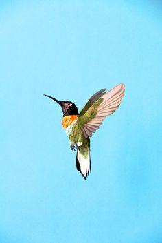 Inca collared hummingbird. 2014 | Diana Beltran Herrera Paper Sculpture