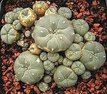 A group of peyotes, in cultivation. Peyote has been used in ritual contexts for thousands of years.