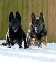 Ovejero alemán negro perro