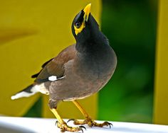 Is everybody on holidays? Mynah (Acridotheres tristis) Mauritius.