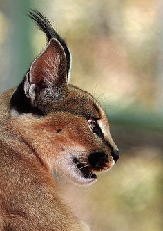 """The caracal is a medium sized cat which it spread in West Asia, South Asia, and Africa. The word Caracal is from Turkey """"Karakulak"""" which means """"Black Ears"""". Here is all about caracal as a pet. Crazy Cats, Big Cats, Cats And Kittens, Nature Animals, Animals And Pets, Cute Animals, Caracal Caracal, Serval, Beautiful Cats"""