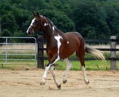 #horses pinto warmblood mare