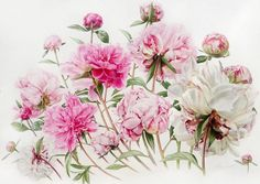 billy showell botanical paintings - - Yahoo Image Search Results