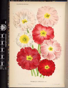 v.31 (1884) - L'Illustration horticole : - Biodiversity Heritage Library