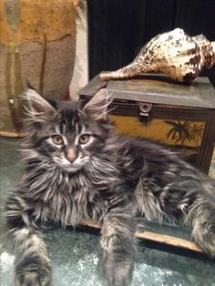 "Augustus, Maine Coon Cat * * "" OKEY, I WILLZ KEEP TRYIN'. ' SHE SELLZ SEA SHELLZ BY DE SEA SHORE.' DAT'S RIGHT, RIGHT? """