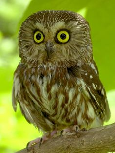 Google Image Result for http://www.owl-pictures.com/saw-whet-476-owl.jpg