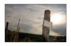 Il filare di Grignolino dedicato al maestro Carlo Quarello