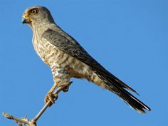 Banded Kestrel (Falco zoniventris); classified as least concern (LC); 10-11 inches tall with a wingspan of 23-26 inches.