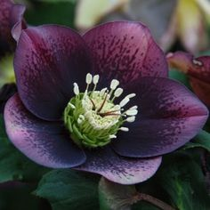 Grape Hellebore