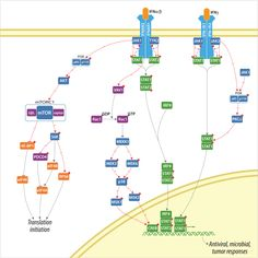 Interferon Signaling Pathway  Following viral infection, the human body triggers a complex regulatory system of innate and adaptive immune responses designed to defend against these foreign invaders.  One of the many responses to the viral invasion is the induction of a family of pleiotropic cytokines known as Interferons (IFN). Induction of interferon (IFN) gene expression leads to increase cellular resistance to viral infection and may also affect cell growth.