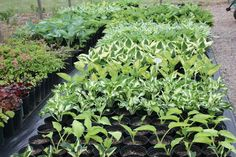 hostas and shade plants