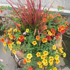Imperata (Japanese Blood Grass), Trailing Petunia, & Calibrachoa - Imperata will grow in part shade.