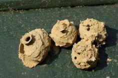 Eumenes pedunculatus, muurariampiaisen pesä
