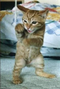 Kickboxer http://catpictures24.com/cat-kickboxer/ #BoxerCats, #CatBoxer, #CatKickboxer, #LittleCat, #LittleCats, #SmallCat, #SmallCats