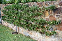plum tree along the fence