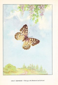 "1917 Vintage BUTTERFLY /""THE COSMOPOLITE/"" A GORGEOUS COLOR Art Plate Lithograph"