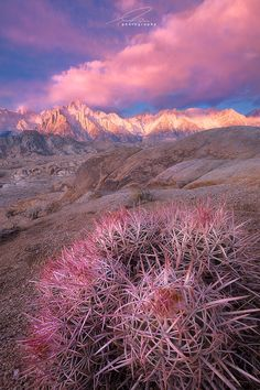 ~~It's a Girl! by Ted Gore ~ Barrel Cactus, Alabama Hills, California~~