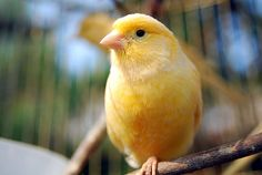another yellow canary - such a pretty bird