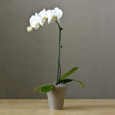 Sympathy Gift Phaelenopsis White Orchid Plant « Holiday Adds