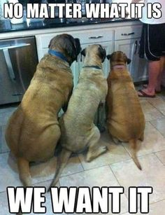 """We want it!"" No picky eaters in this house! #dogs #doglovers #funny"