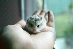 Lil' Hamsters are cute! Felt Animals, Baby Animals, Cute Animals, Hamster Breeds, Cute Hamsters, Pets, Babies, Mini, Pretty Animals
