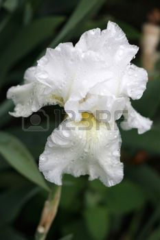 white with yellow bearded iris with raindrops photo