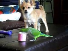 Parrot and Chihuahua Fight Over Yogurt Cup In The Most Adorable Way!