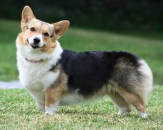 Pembroke Welsh Corgi | Pembroke Welsh Corgi | Fun Animals Wiki, Videos, Pictures, Stories