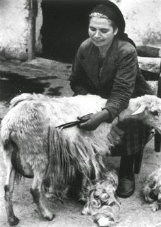 THE HAIRCUT OF SHEEP IN THE VILLAGE IN GREECE Epirus