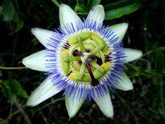 """Passiflora caerulea, """"Flor de la Pasión"""" es una planta exótica de jardín, terraza o balcón.  Las ramas se marchitan en el invierno, después de podar las ramas muertas en primavera, vuelven a formar brotes nuevos desde el suelo.  Es trepadora de crecimiento vigoroso, apta para paredes al sur o como variedad de cubeta en una pérgola, ésta necesita ayuda para trepar. Las flores son de un diámetro de 7 u 8 cm.  Época de floración: julio/octubre.  Altura: 3-6 m.  Lugar de emplazamiento: sol."""
