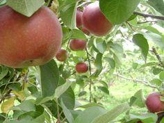 Make an organic fruit tree spray!