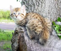 American Bobtail Cat Breeders - Cats - Kittens