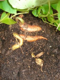 The Burgeoning Sweet Potatoes Need Covering Potato Planter, Growing Sweet Potatoes, Carrots, Planters, Healthy Recipes, Canning, Vegetables, Garden, Carrot