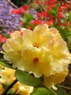 Rhododendron 'Nancy Evans'   #plants