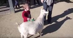 This Goat's Hilariously Loud Fart Scared The Living Daylights Out Of This Little Kid At A Petting Zoo.