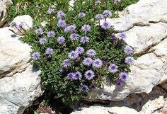 https://flic.kr/p/7a8twK   Matted globularia, Aretes du Gerbier, Vercors escarpment   Globularia cordifolia