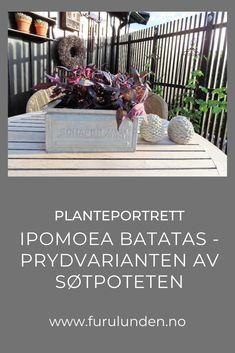 Ipomoea batatas er en vakker bladplante som finnes i flere farger #ipomoeabatatas #bladplante #planteportrett #hage #furulunden Bright, Portrait, Plants, Black, Home Decor, Decoration Home, Headshot Photography, Black People, Room Decor