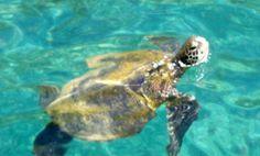 Hawksbill Turtle off Bounty Bay Pitcairn Island. Pitcairn Islands, Underwater, Turtle, Animals, Turtles, Animales, Animaux, Under The Water, Tortoise