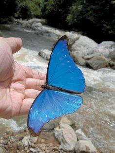 Morpho Butterfly, Blue Morpho, Butterfly Baby, Most Beautiful Butterfly, Beautiful Bugs, Amazing Nature, Beautiful Pictures, Butterfly Pictures, Butterfly Wallpaper